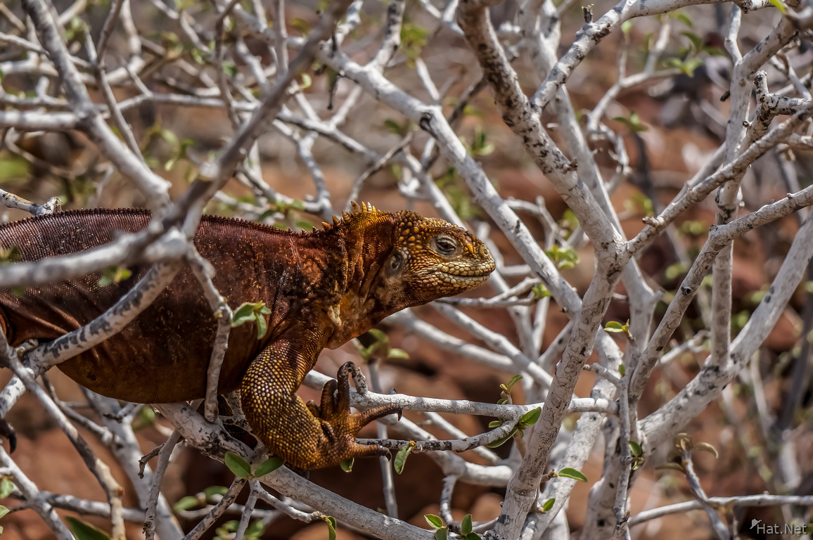 Tree Iguana of North Seymour