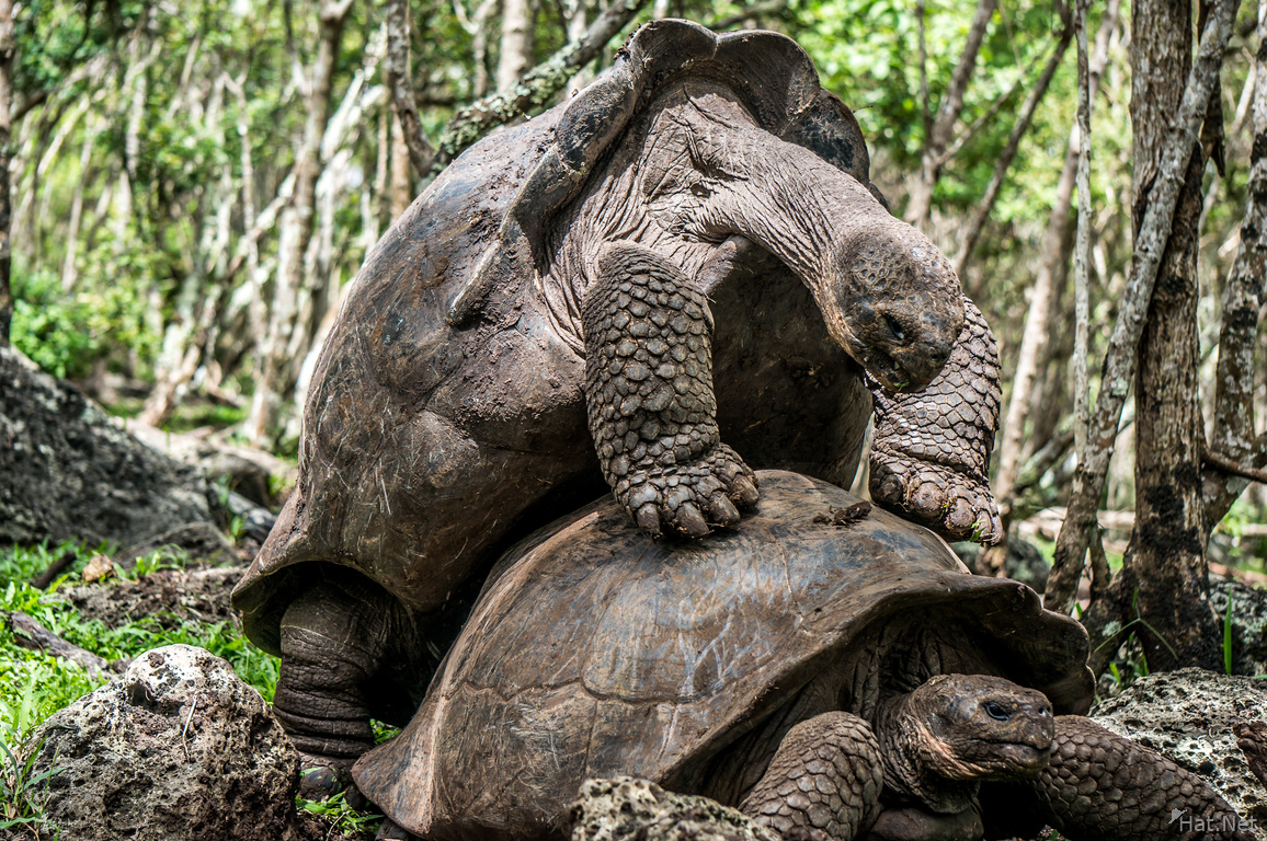 Giant Tortoise mating in Floreana