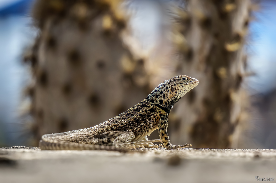Male Lava Lizard of Floreana in front of a cactus