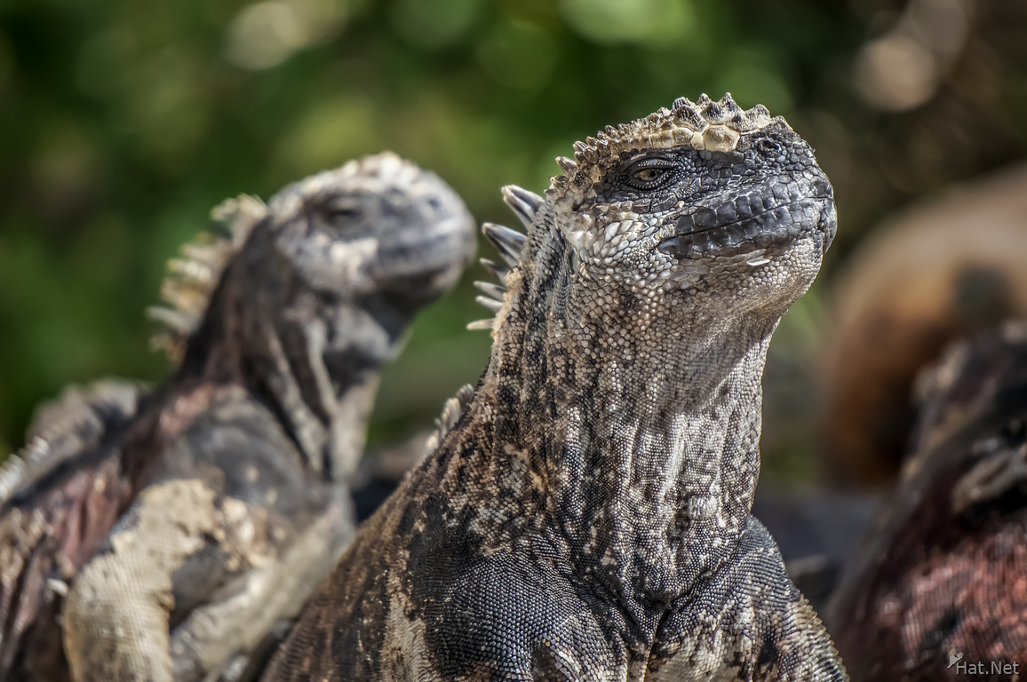 Marine Iguana Couple of Floreana