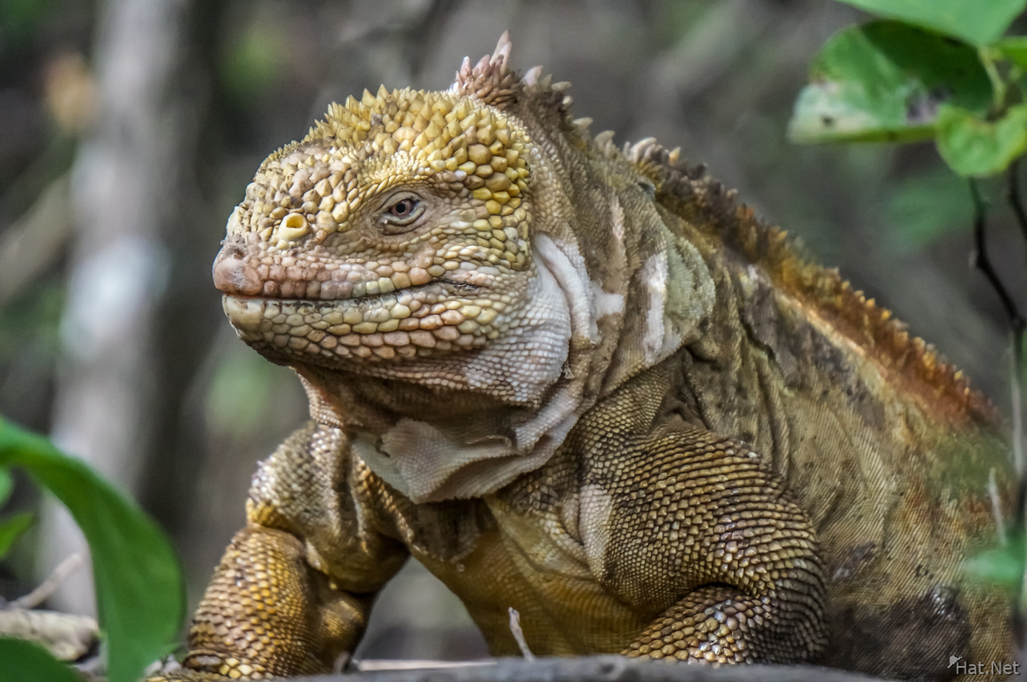 Land Iguana on Urbina