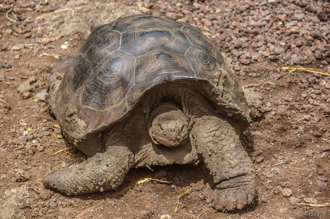 Giant Tortoise in San Cristobal Breeding Center