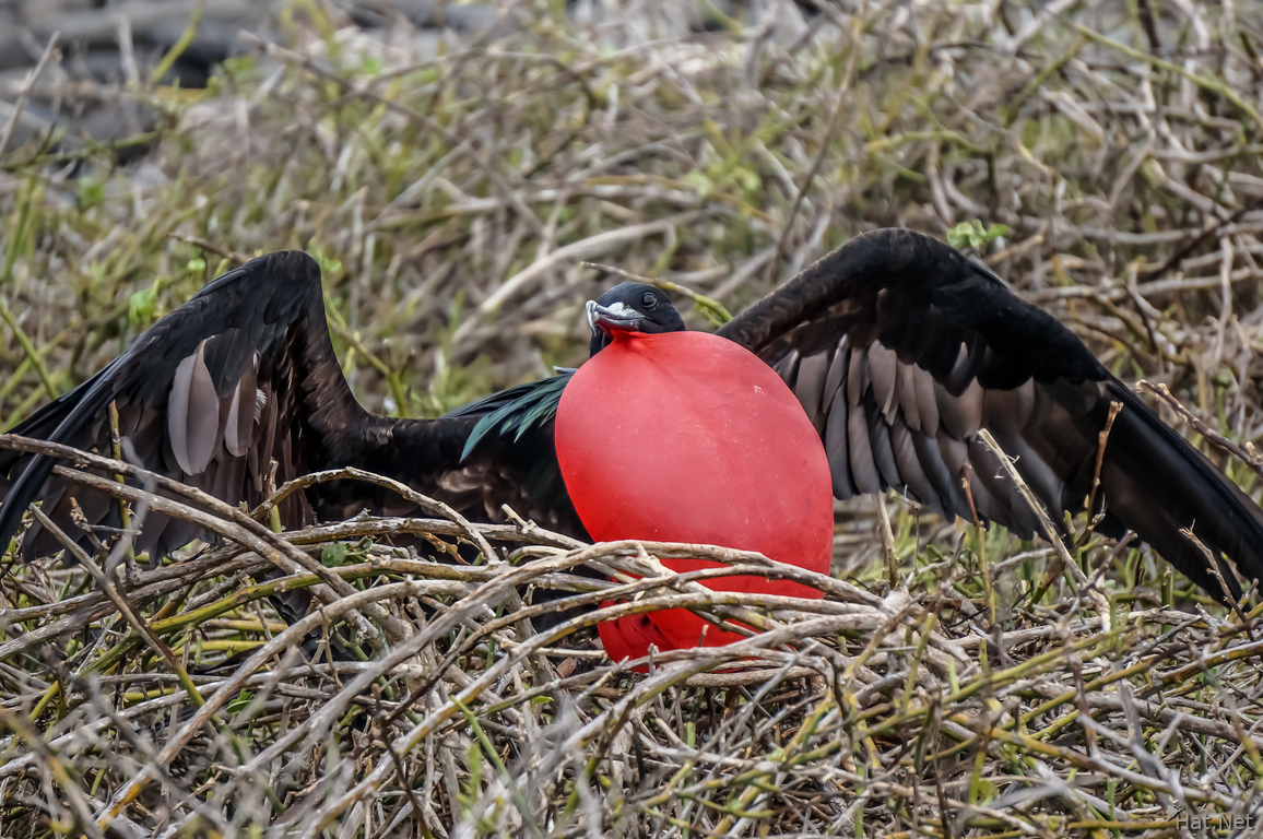 Male Frigate bird with Red Pouch Baloon in North Seymour-2
