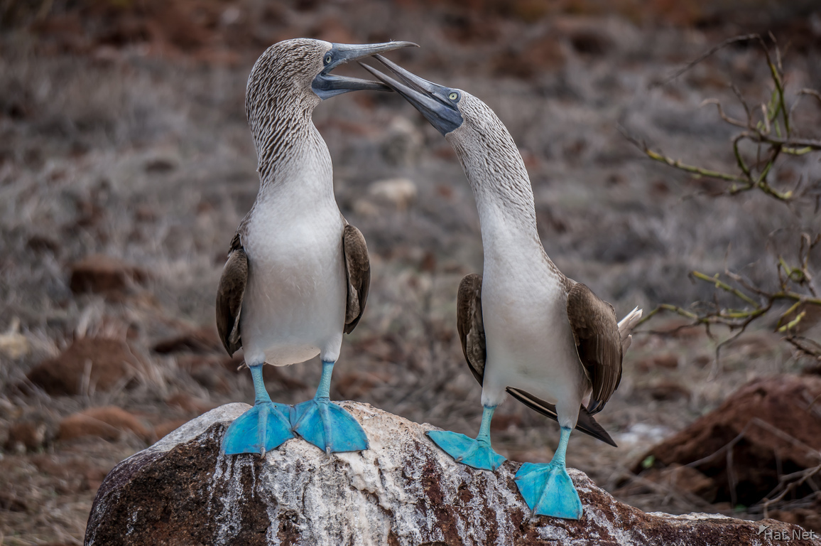 Mating Ritual of Blue Footed Boobies