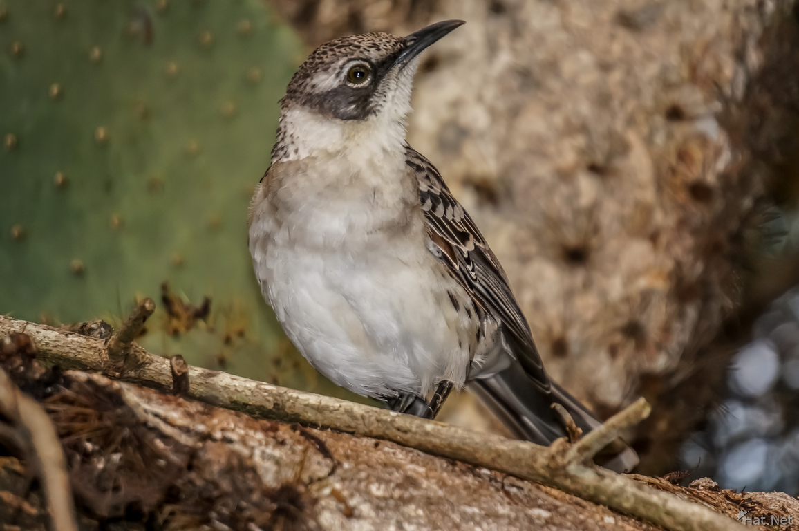 Mocking Bird of Santa Cruz