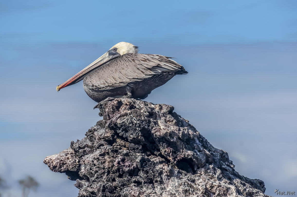 Brown Pelican of Elizabeth Bay