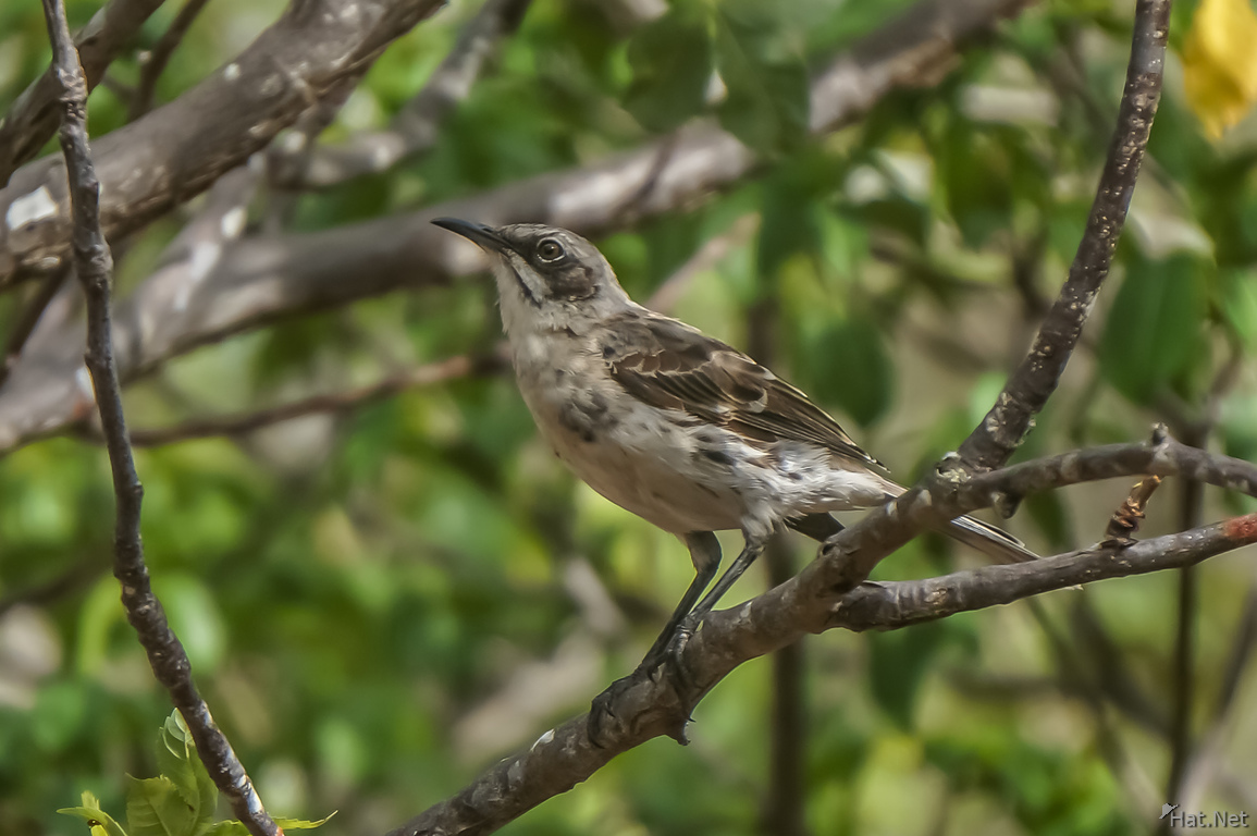 Chatham Mocking Bird in San Cristobal-Rare