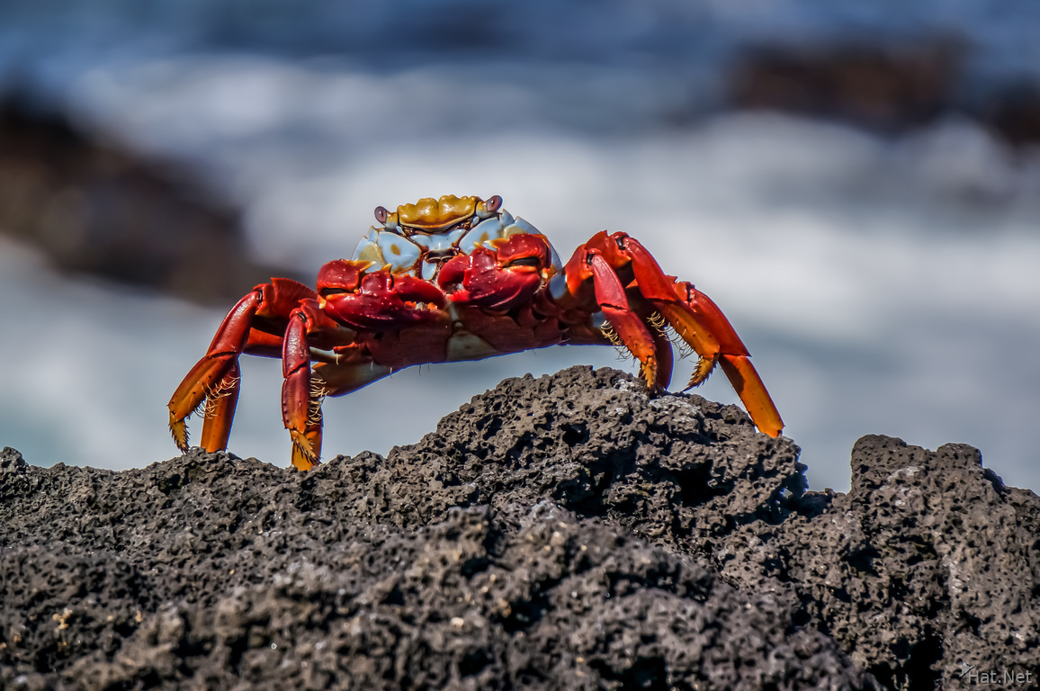 Sally lightfoot Crab - Grapsus grapsus
