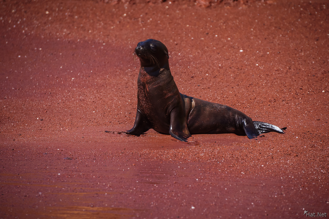 Young sea lion at Isla Rabida