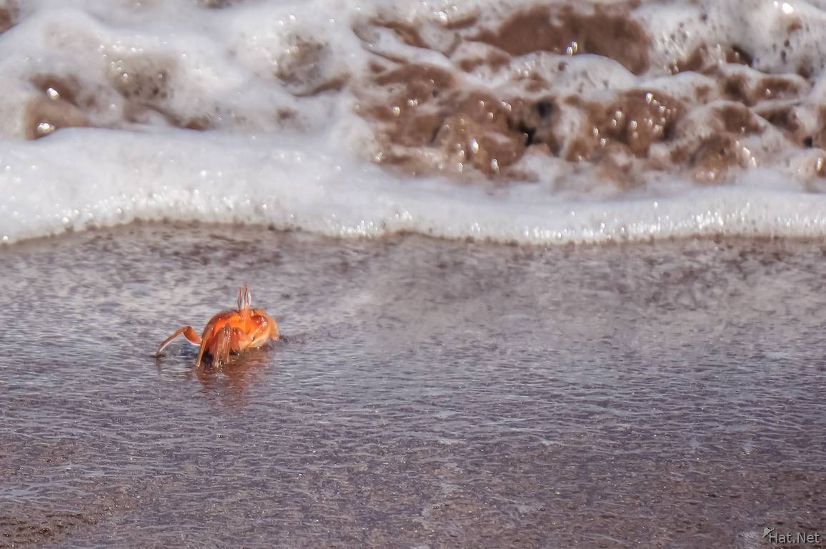 Ghost crab Ocypodinae