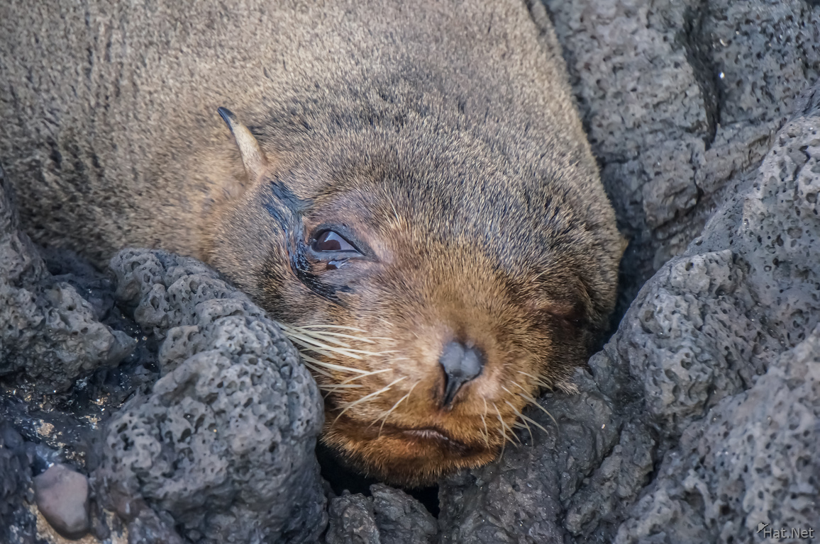 Fur Seal of James Bay