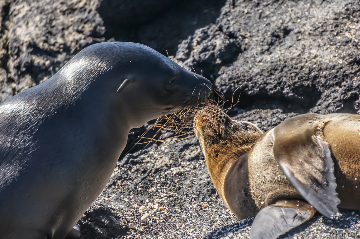 Baby sea lion on Puerto Espinoza of Fernandina