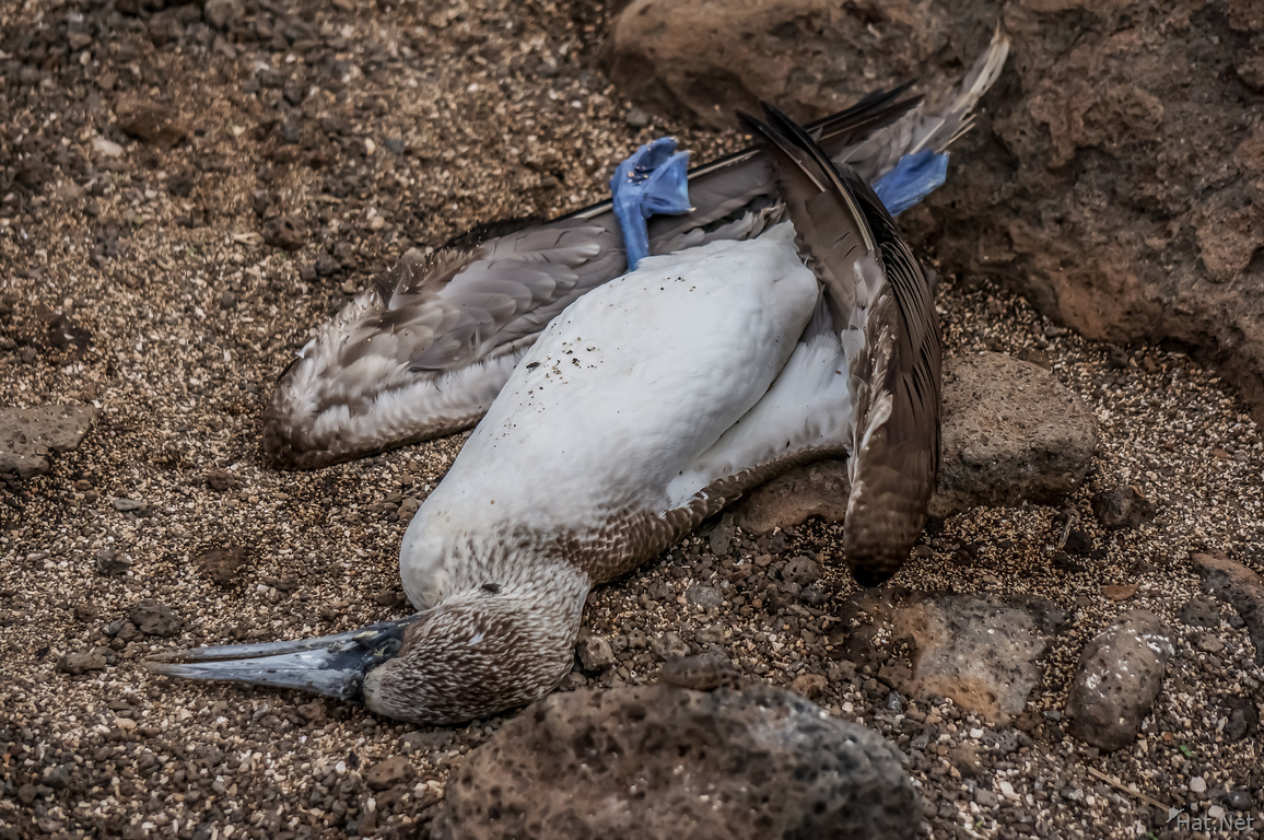 Dead Blue footed Booby on Seymour