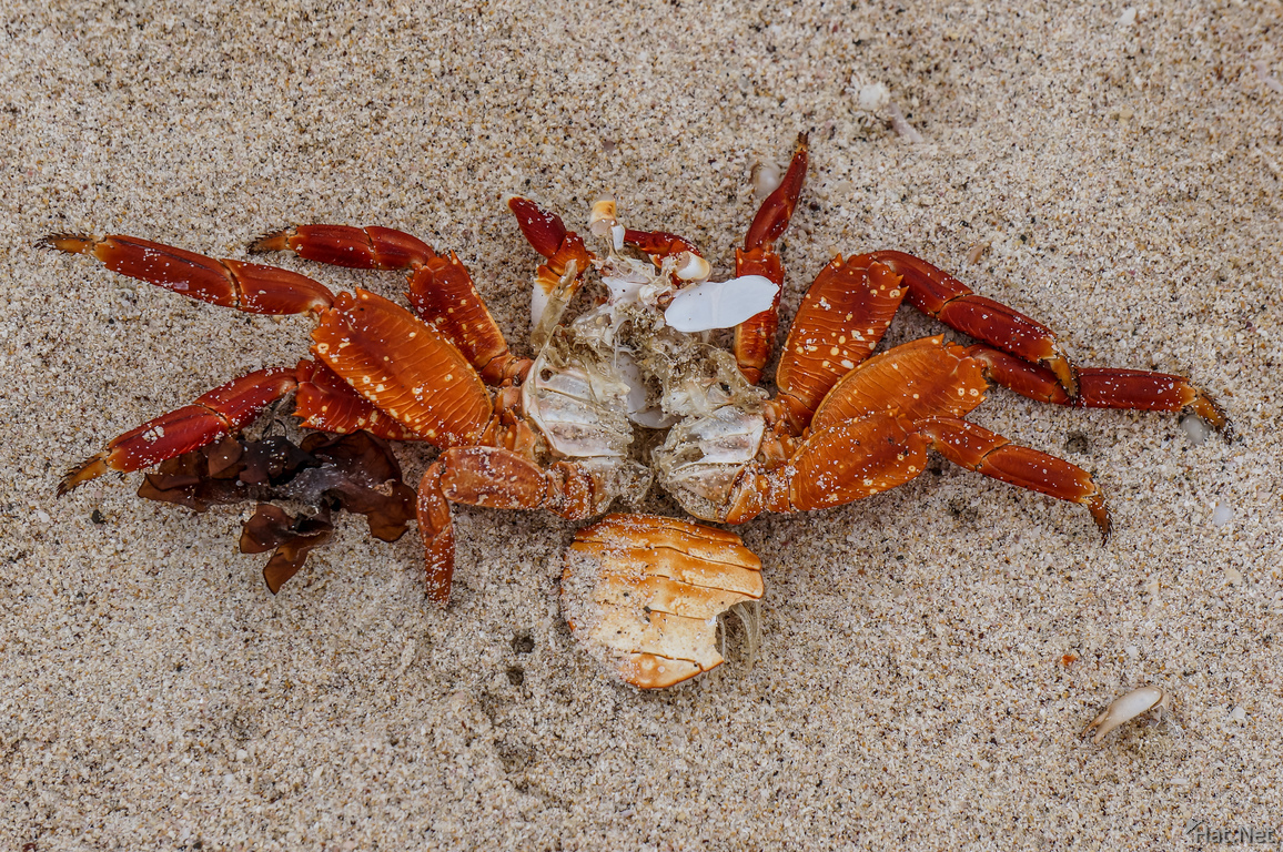 dead Sally Lightfoot Crab Grapsus Grapsus