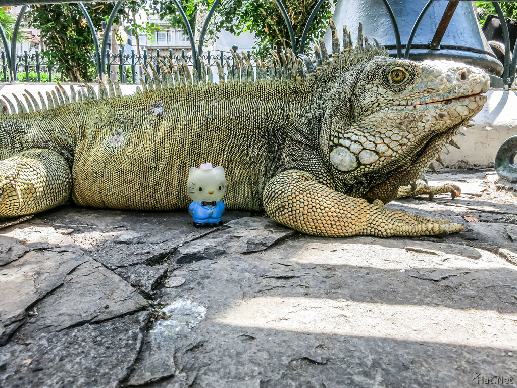 Iguana In Guayaquil attack Hello Kitty
