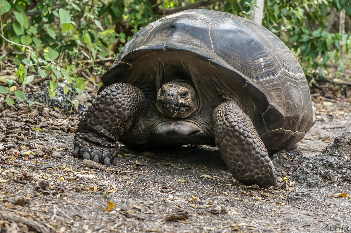 Giant tortoise of Urbina Bay