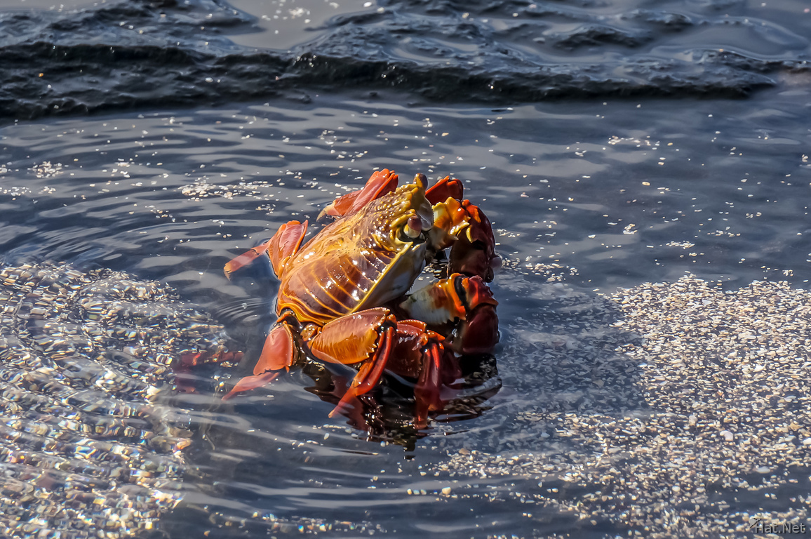 Sally lightfoot crab on James bay