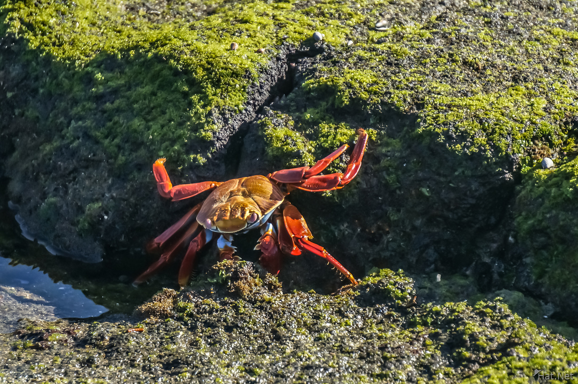 Sally lightfoot crab on Fernandina