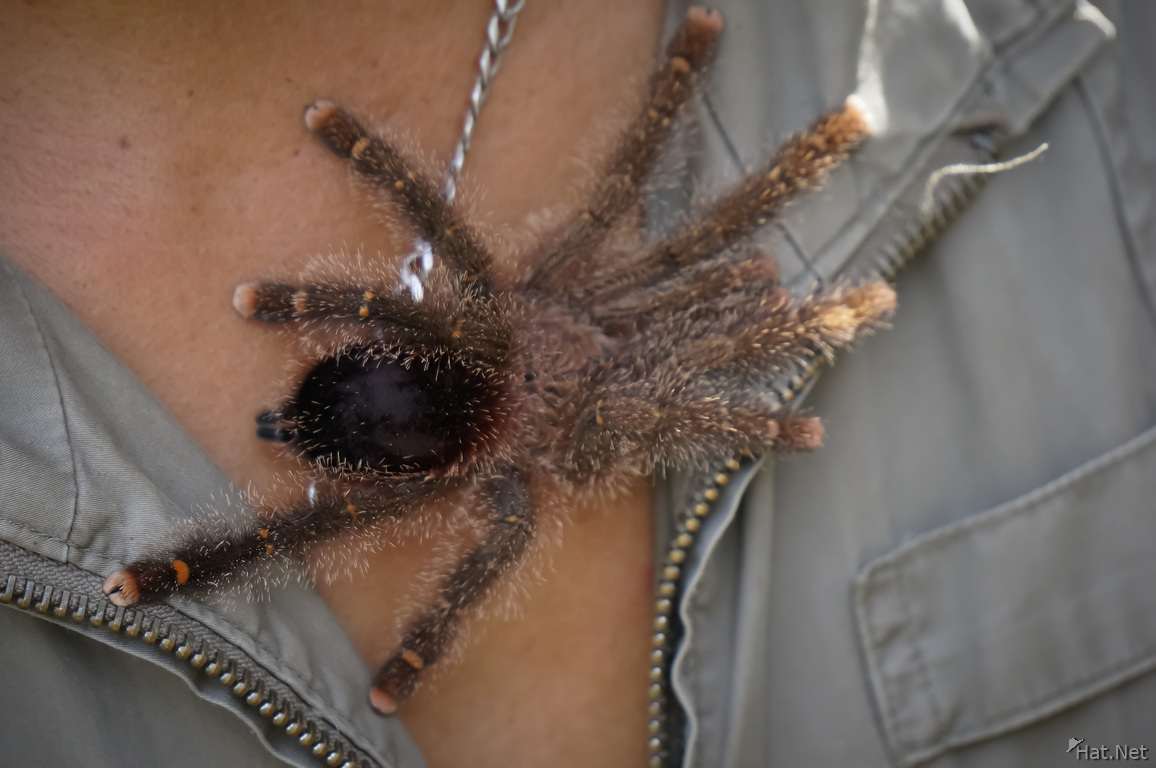 Tarantula Spider on Nasin Chest