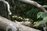 Yellow snake Amazon,  Cuyabeno Reserve,  Sucumbios,  Ecuador, South America