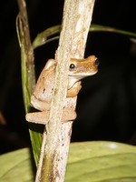 Brown tree frog Amazon,  Cuyabeno Reserve,  Sucumbios,  Ecuador, South America
