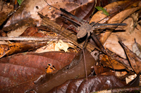Alien spider Amazon,  Cuyabeno Reserve,  Sucumbios,  Ecuador, South America