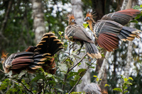 Stinkbird Hoatzin Amazon,  Cuyabeno Reserve,  Sucumbios,  Ecuador, South America