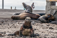 20140511143821-Marine_Iguana_of_Floreana_in_front_of_Sea_lions