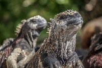 Marine Iguana Couple of Floreana Puerto Velasco Ibarra, Galapagos, Ecuador, South America