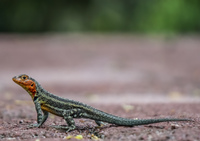20140512091859-Lava_Liazard_-_Female