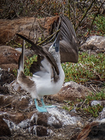 20140510103819-Blue_footed_booby_of_North_Seymour