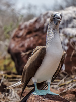 20140510111618-Mating_Ritual_of_Blue_Footed_Boobies