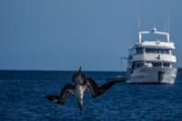 20140514090618-Blue_Footed_Boobie_diving_for_fish