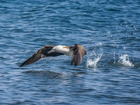 20140514090635-Blue_Footed_Boobie_diving_for_fish-2
