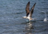 20140514090648-Blue_Footed_Boobie_diving_for_fish-2