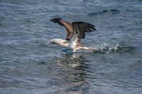 20140514090648-Blue_Footed_Boobie_diving_for_fish