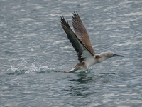 Blue footed booby catching fish in Urbina Bay Fernandina Island, Galapagos, Ecuador, South America