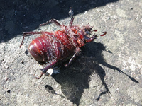 20140502084823-Dead_beetle_on_Alausi_St_Peter_Hill