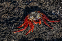 Dead Sally Lightfoot crab Isla Santiago, Galapagos, Ecuador, South America