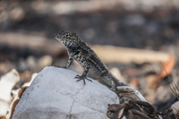 20140517083435-Lava_Lizard_on_skulls_near_Islote_Tintoreras