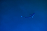 20140509184649-Baby_Shark_near_Puerto_Ayora_Harbour