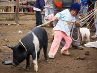 come you pig Saquisilí,  Cotopaxi,  Ecuador, South America