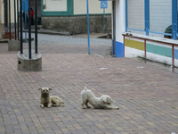 Street Dog fight in Alausi Alausi,  Chimborazo,  Ecuador, South America