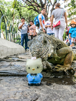 Iguana In Guayaquil attack Hello Kitty Guayaquil, Ecuador, South America