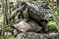 20140511110428-Giant_Tortoise_mating_in_Floreana