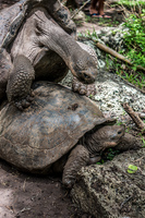 20140511110700-Giant_Tortoise_mating_in_Floreana