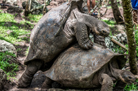 20140511110714-Giant_Tortoise_mating_in_Floreana