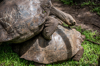 20140511110742-Giant_Tortoise_mating_in_Floreana