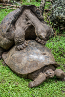 20140511110844-Giant_Tortoise_mating_in_Floreana