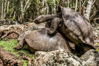 20140511111635-Giant_Tortoise_mating_in_Floreana